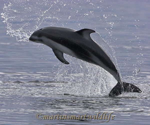 Pacific_White-sided_Dolphin_6377x.jpg