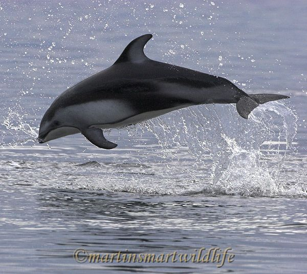 Pacific_White-sided_Dolphin_6378x.jpg