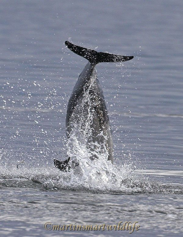 Pacific_White-sided_Dolphin_6381ax.jpg