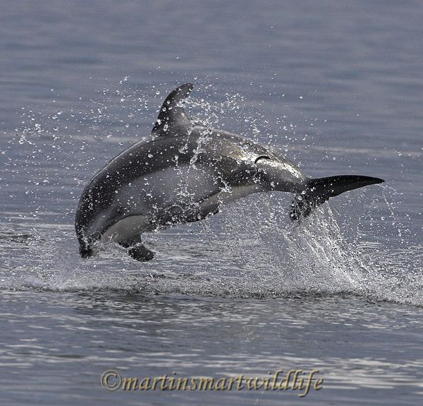 Pacific_White-sided_Dolphin_6382x.jpg