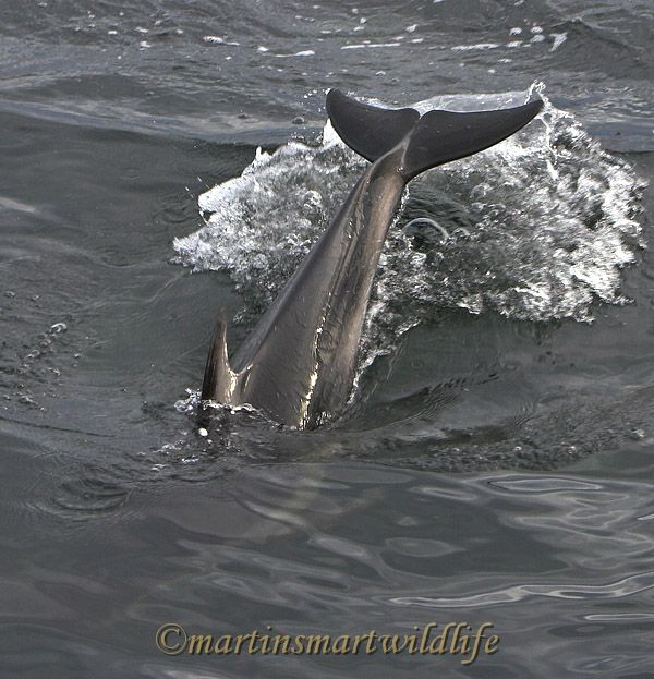Pacific_White-sided_Dolphin_6420x.jpg