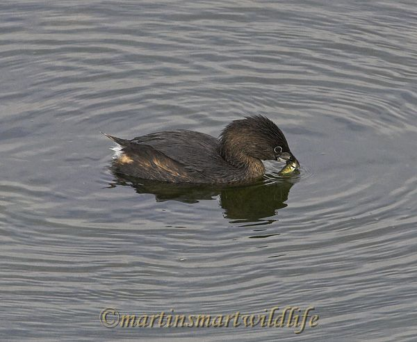 Pied-billed_Grebe_1401x.jpg
