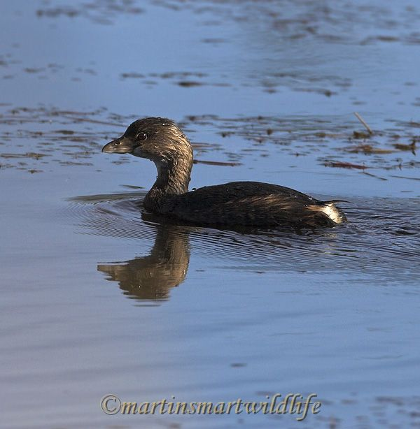 Pied-billed_Grebe_9537x.jpg