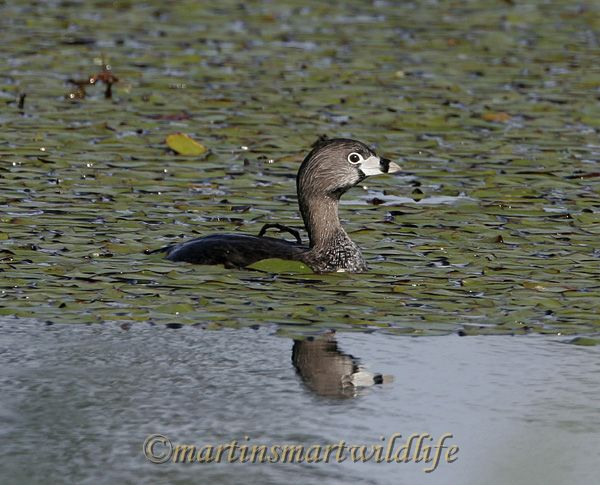 Pied_Billed_Grebe_4131x.jpg