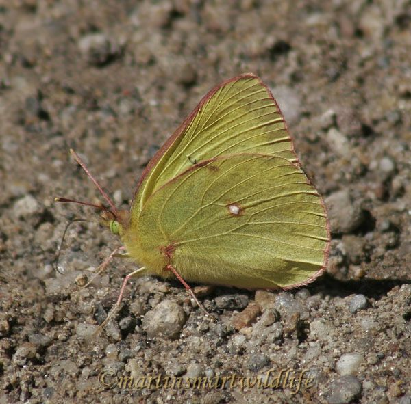 Pink-edged_Sulphur_7156x.jpg