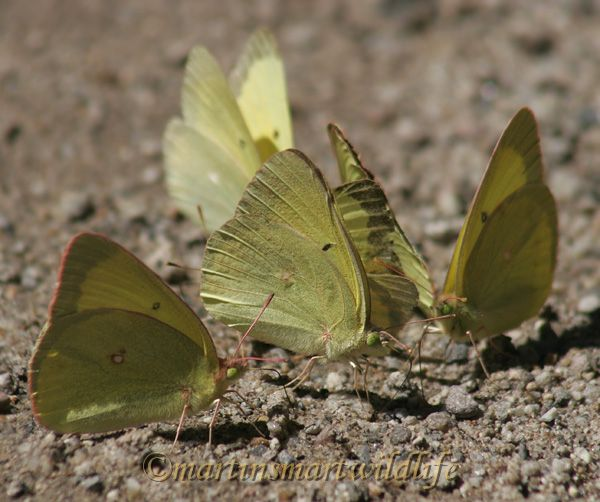 Pink-edged_Sulphur_7158x.jpg