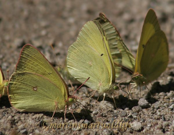 Pink-edged_Sulphur_7160x.jpg