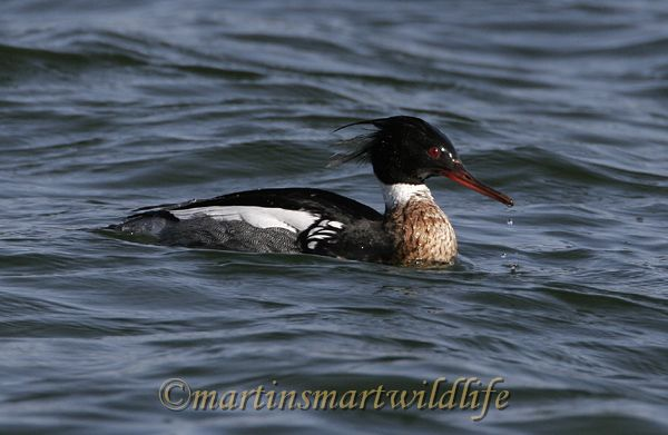 Red-Breasted_Merganser_3012x.jpg