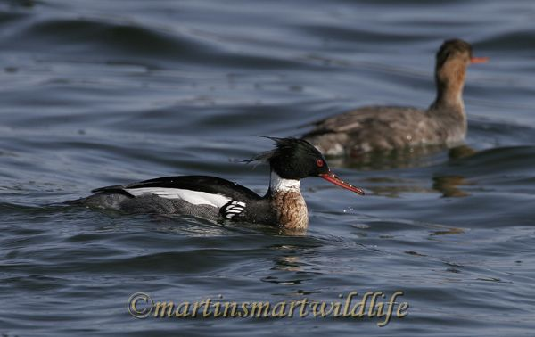 Red-Breasted_Merganser_3017x.jpg