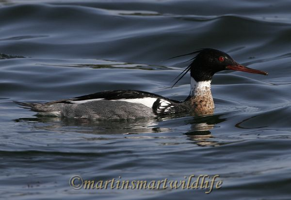 Red-Breasted_Merganser_3098x.jpg