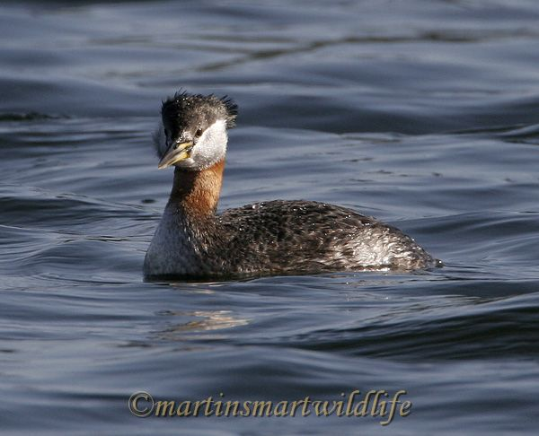 Red-Necked_Grebe_3079x.jpg