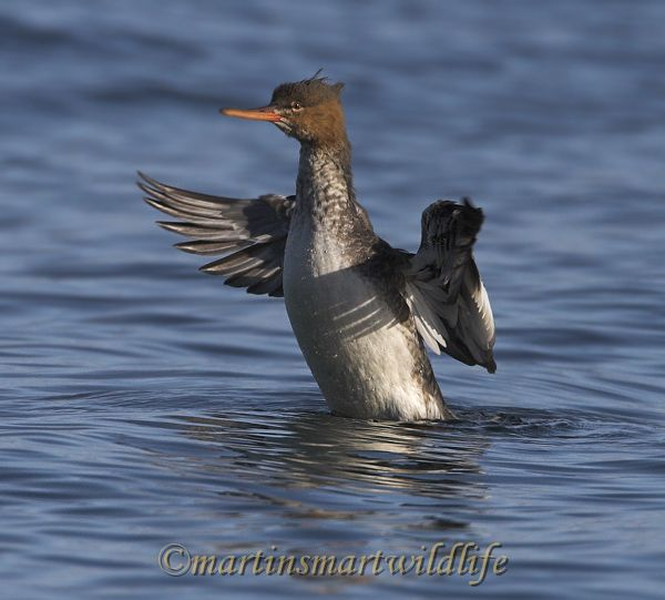 Red-breasted_Merganser_0210x.jpg