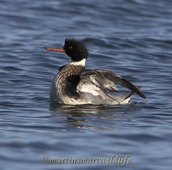 Red-breasted_Merganser_0212x.jpg