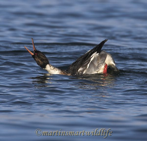 Red-breasted_Merganser_0303x.jpg