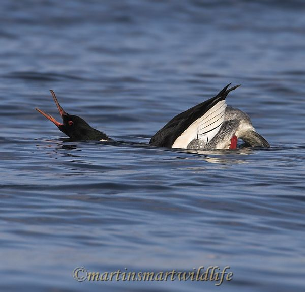 Red-breasted_Merganser_0341x.jpg
