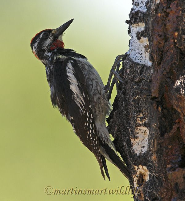 Red-naped_Sapsucker_8280x.jpg