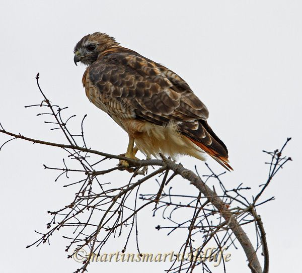 Red-tailed_Hawk_0115.jpg