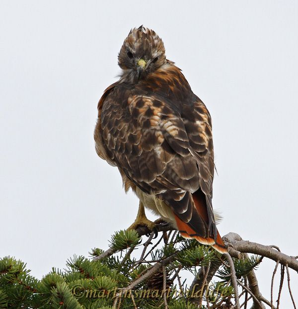 Red-tailed_Hawk_0123.jpg