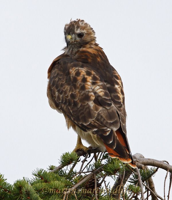 Red-tailed_Hawk_0124.jpg