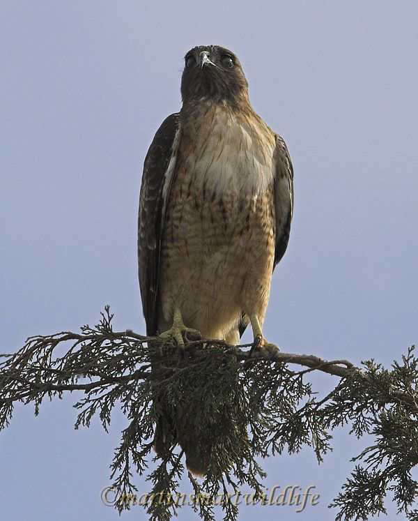 Red-tailed_Hawk_1569x.jpg