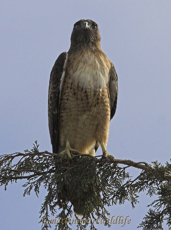 Red-tailed_Hawk_1570x.jpg