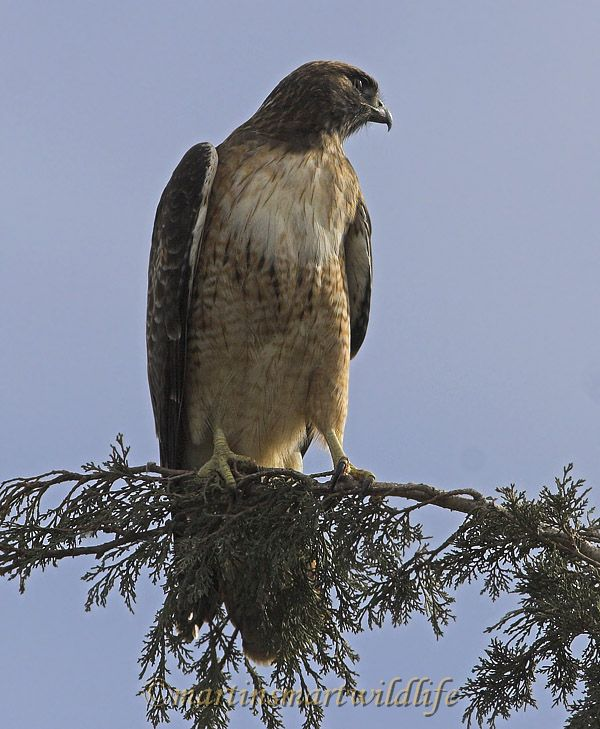 Red-tailed_Hawk_1572x.jpg