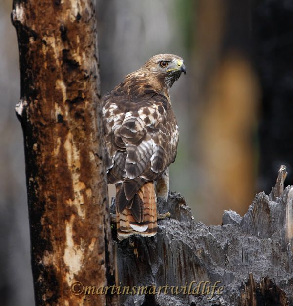 Red-tailed_Hawk_7556x.jpg