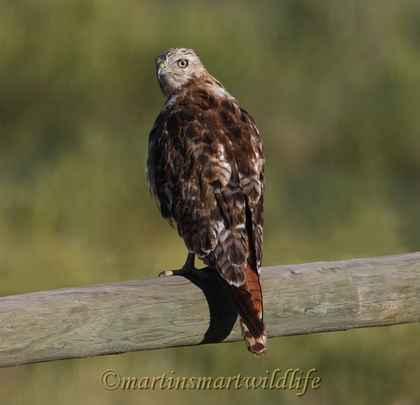 Red-tailed_Hawk_8022x.jpg