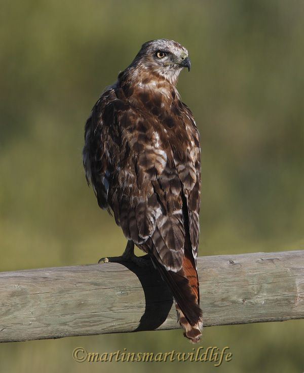 Red-tailed_Hawk_8029x.jpg