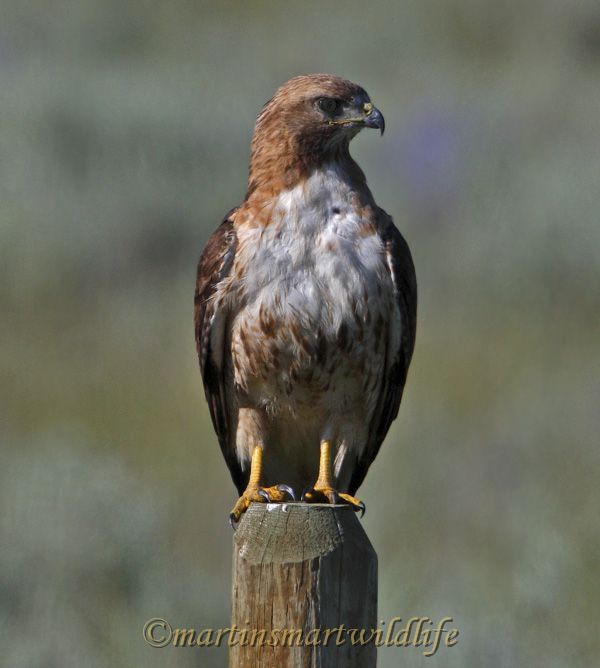 Red-tailed_Hawk_8055x.jpg