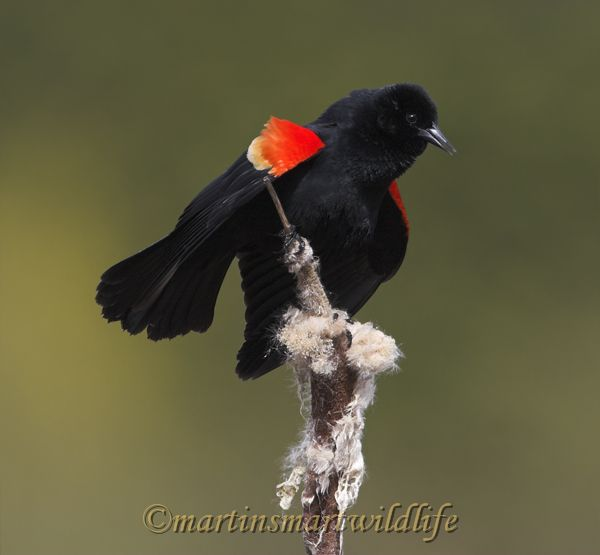Red-winged_Blackbird_4063x.jpg