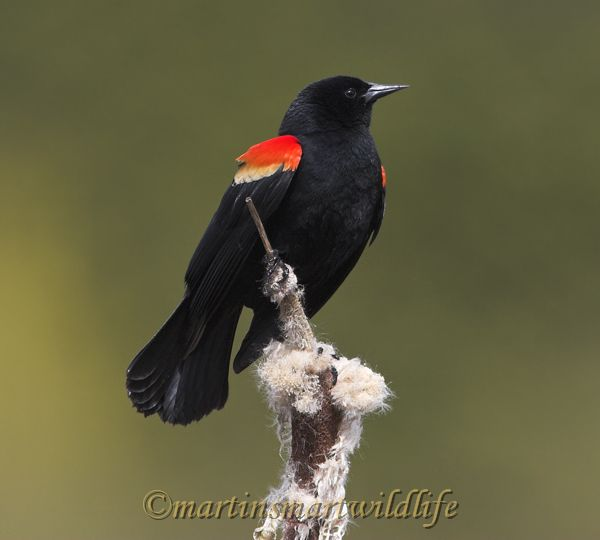 Red-winged_Blackbird_4068x.jpg
