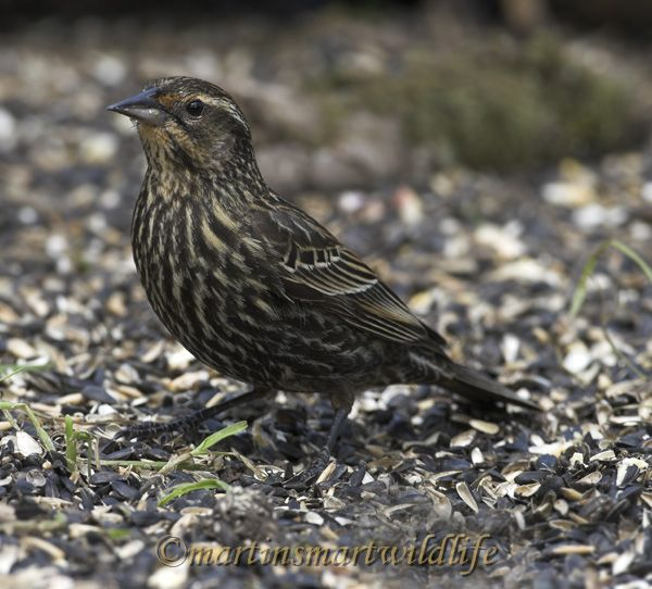 Red-winged_Blackbird_4127x.jpg