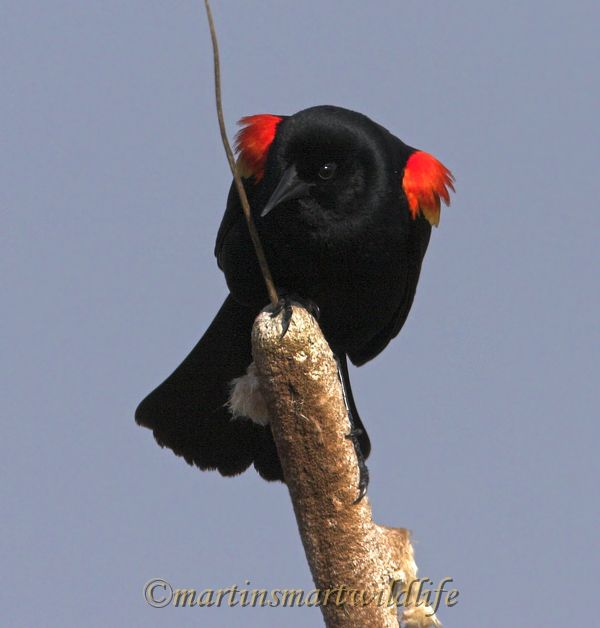 Red-winged_Blackbird_4576x.jpg