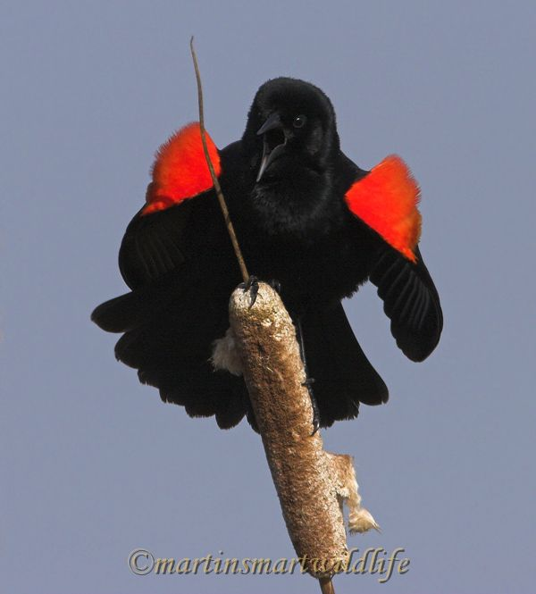 Red-winged_Blackbird_4580ax.jpg