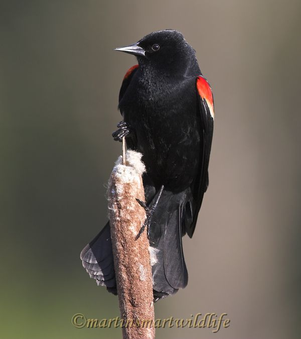 Red-winged_Blackbird_5283x.jpg