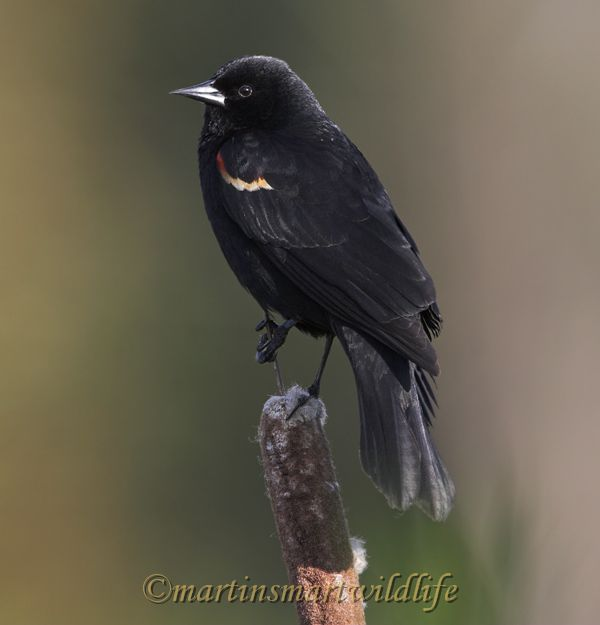Red-winged_Blackbird_5291x.jpg