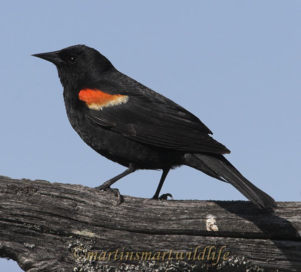 Red-winged_Blackbird_5993x.jpg