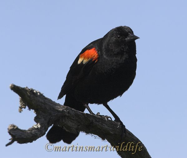 Red-winged_Blackbird_5998x.jpg