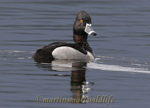 Ring Necked Duck 2169a.jpg