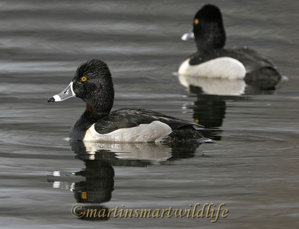 Ring Necked Duck 2170a.jpg