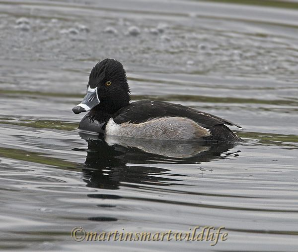 Ring-necked_Duck_1375x.jpg