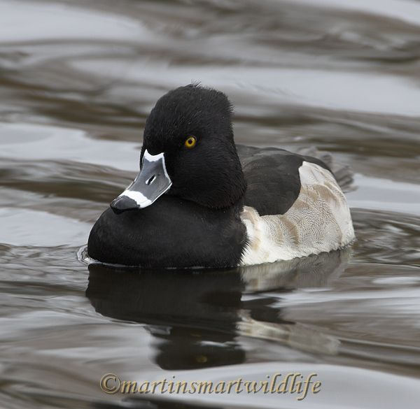 Ring-necked_Duck_9751x.jpg