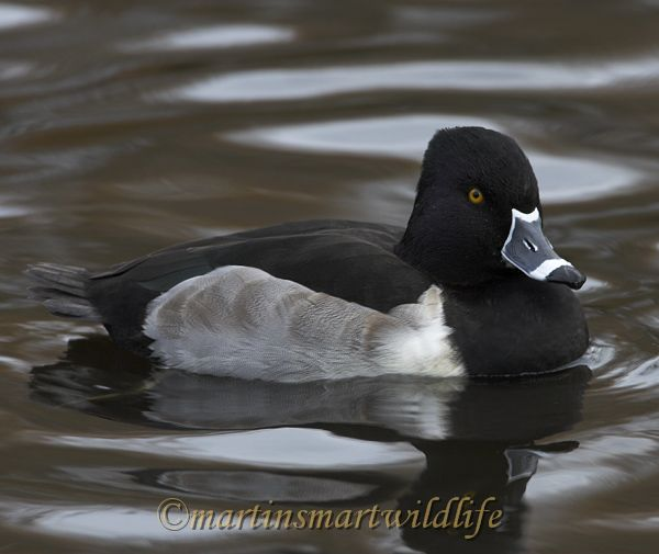 Ring-necked_Duck_9779x.jpg