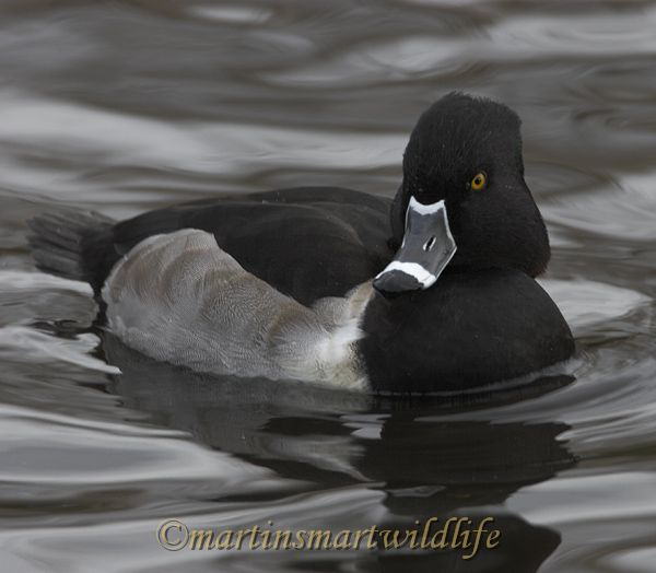 Ring-necked_Duck_9788x.jpg