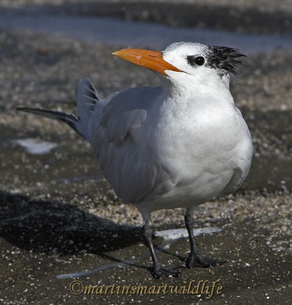 Royal_Tern_1927x.jpg
