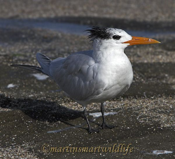 Royal_Tern_1928x.jpg