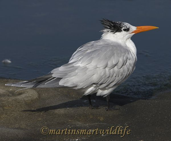 Royal_Tern_1973x.jpg