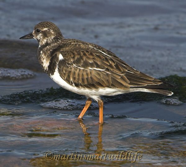 Ruddy_Turnstone_1946x.jpg