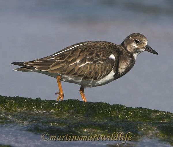 Ruddy_Turnstone_1948x.jpg
